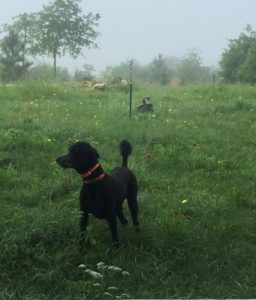 Stella waits majestically amidst the flowers and fog for her trusted companion, Jessica Forsdick.